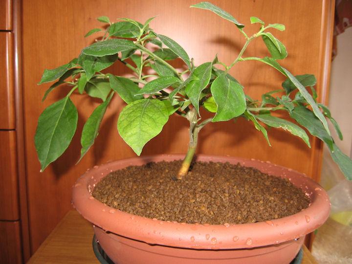 Bouganville (forse bonsai tra qualche anno) Img_0416