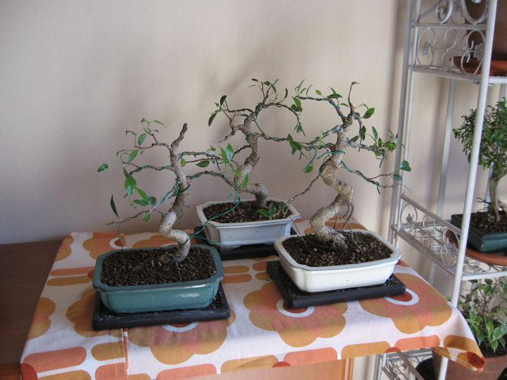Dove coltiviamo i nostri bonsai - Pagina 2 Img_3314