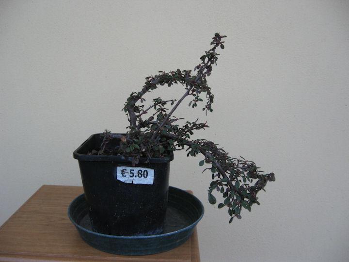 Cotoneaster salicifolia da impostare Img_3410