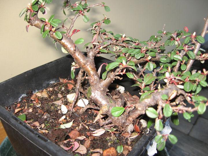 Cotoneaster salicifolia da impostare Img_3411