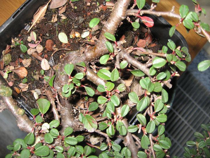 Cotoneaster salicifolia da impostare Img_3412