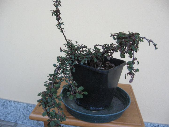 Cotoneaster salicifolia da impostare Img_3413