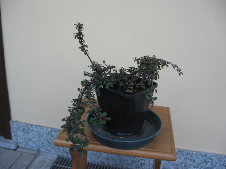Cotoneaster salicifolia da impostare Img_3414