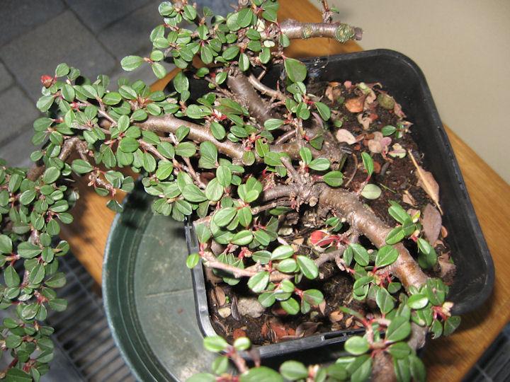 Cotoneaster salicifolia da impostare Img_3415