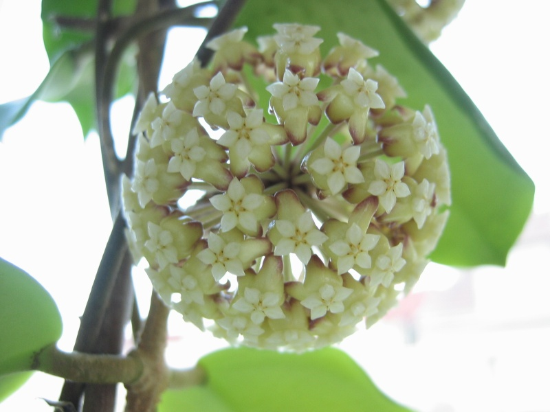 Hoya crassicaulis 00810