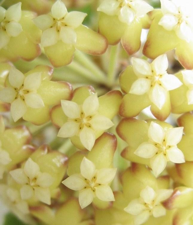 Hoya crassicaulis 02210