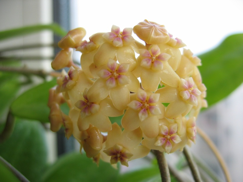 Hoyablüten 2011 - Seite 2 03_03_10
