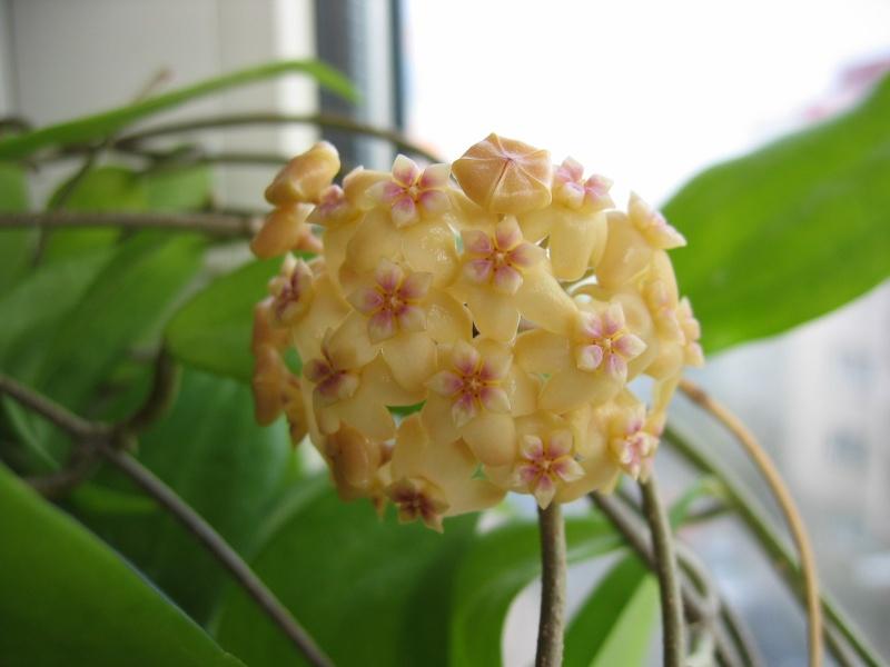 Hoyablüten 2011 - Seite 2 03_03_12