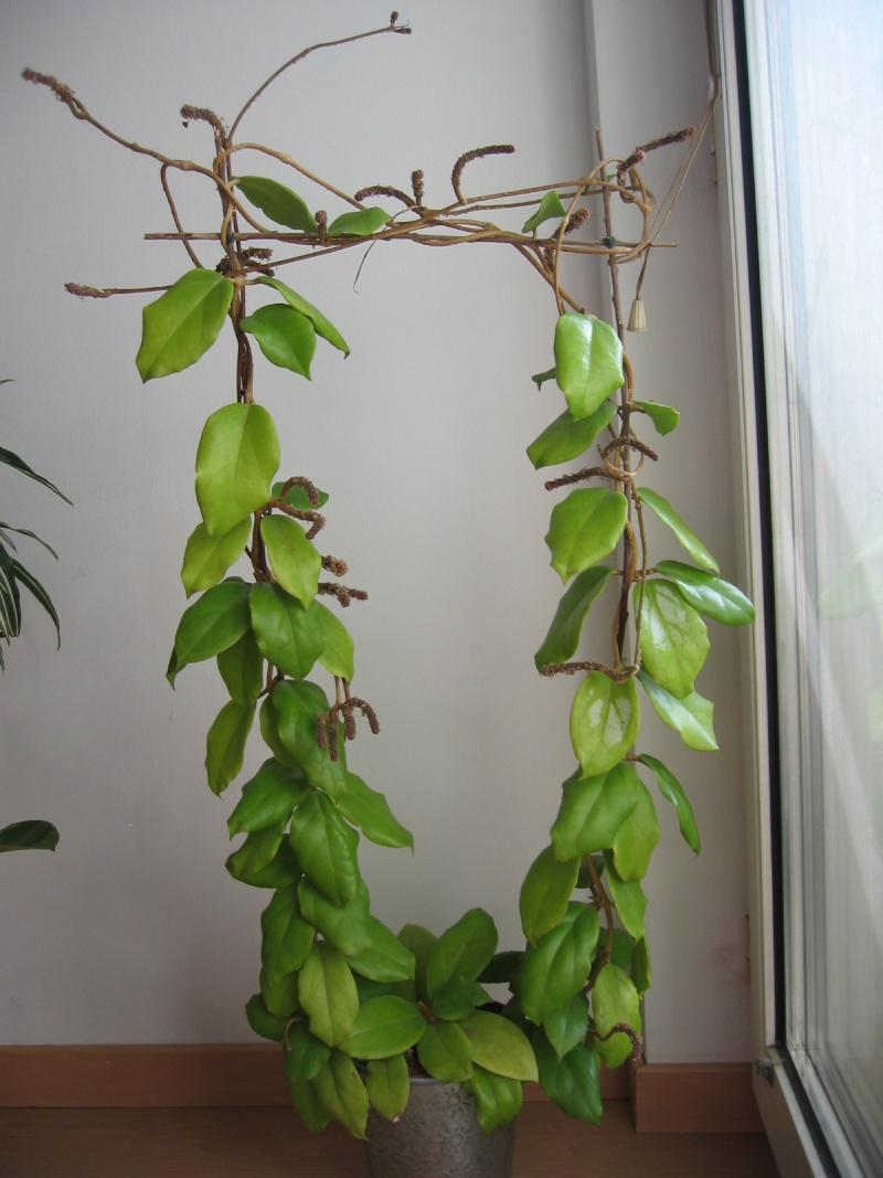 Hoya crassicaulis 03_03_13