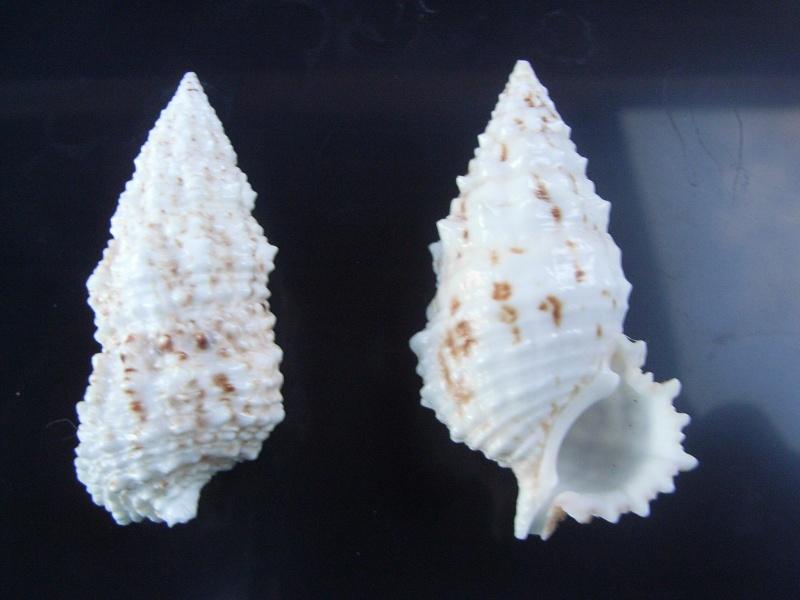Cerithium echinatum - Lamarck, 1822  Cerith12