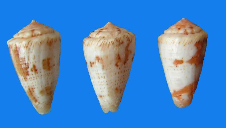 Conus (Dauciconus) magellanicus   Hwass in Bruguière, 1792 3_mag10