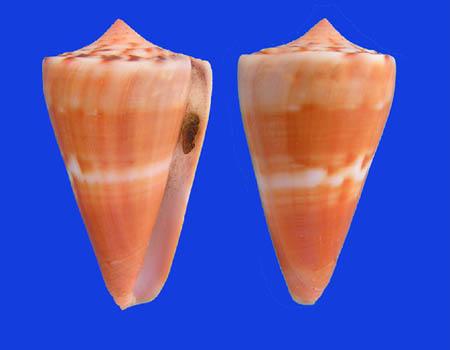 Conus (Dauciconus) daucus  Hwass in Bruguière, 1792 Conus_29