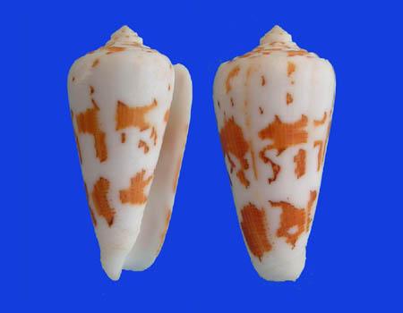 Conus (Pionoconus) gubernator   Hwass in Bruguière, 1792 Conus_30