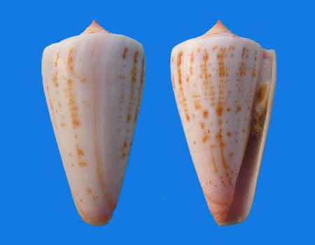 Conus (Dauciconus) daucus  Hwass in Bruguière, 1792 Conus_33