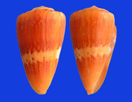Conus (Dauciconus) daucus  Hwass in Bruguière, 1792 Conus_34