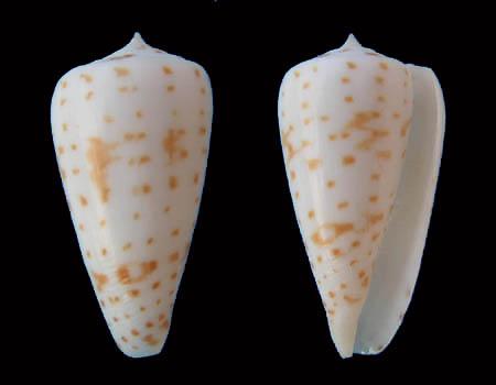 Conus (Phasmoconus) angioiorum  Röckel & Moolenbeek, 1992 Conus_35