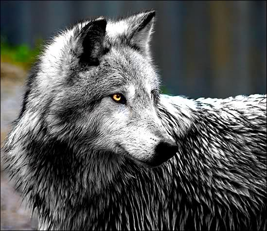 ⚜Rebel⚜  [Wolf Roleplay] Beauti10