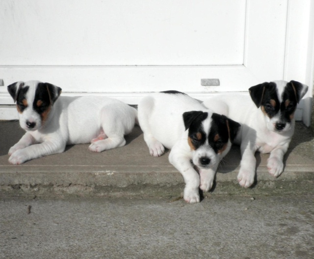 Chiots parson russell LOF P3201418
