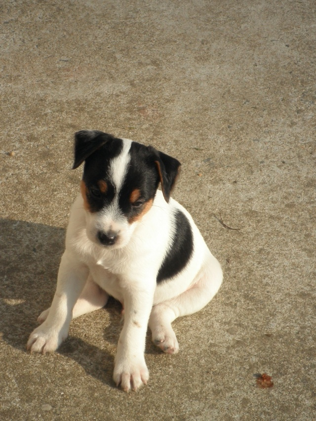Chiots parson russell LOF P3201419