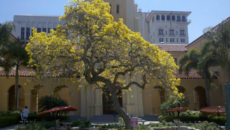 Beautiful Sarasota Banyan. 2011-016