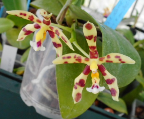Phalaenopsis Margie Lane (Phal. mannii x Phal. micholitzii) 12_03_12