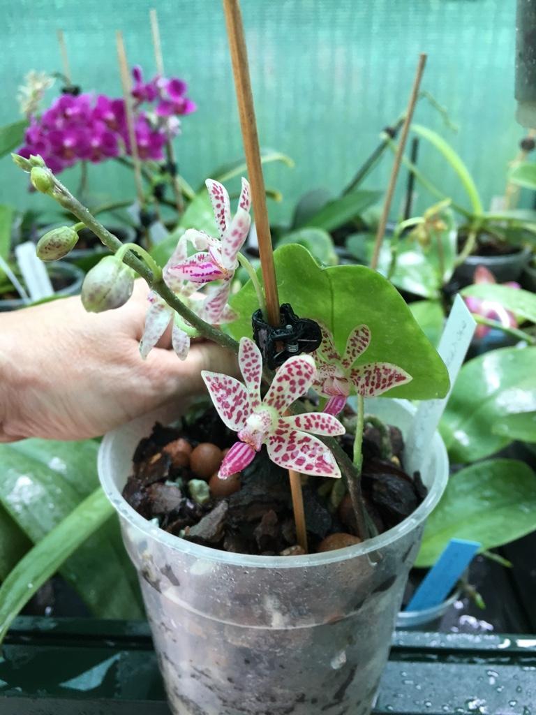 Phalaenopsis finley x mariae 23_06_15