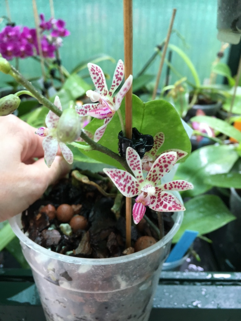 Phalaenopsis finley x mariae 23_06_16