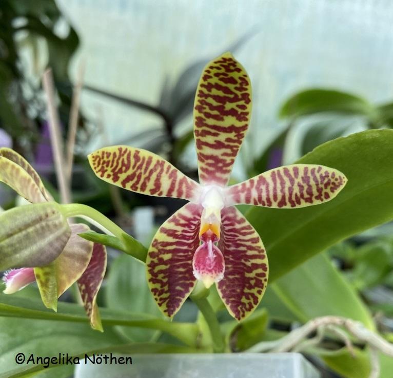 Phalaenopsis corningiana x Phalaenopsis amboinensis (Phal. Corning-Ambo) 28_04_15
