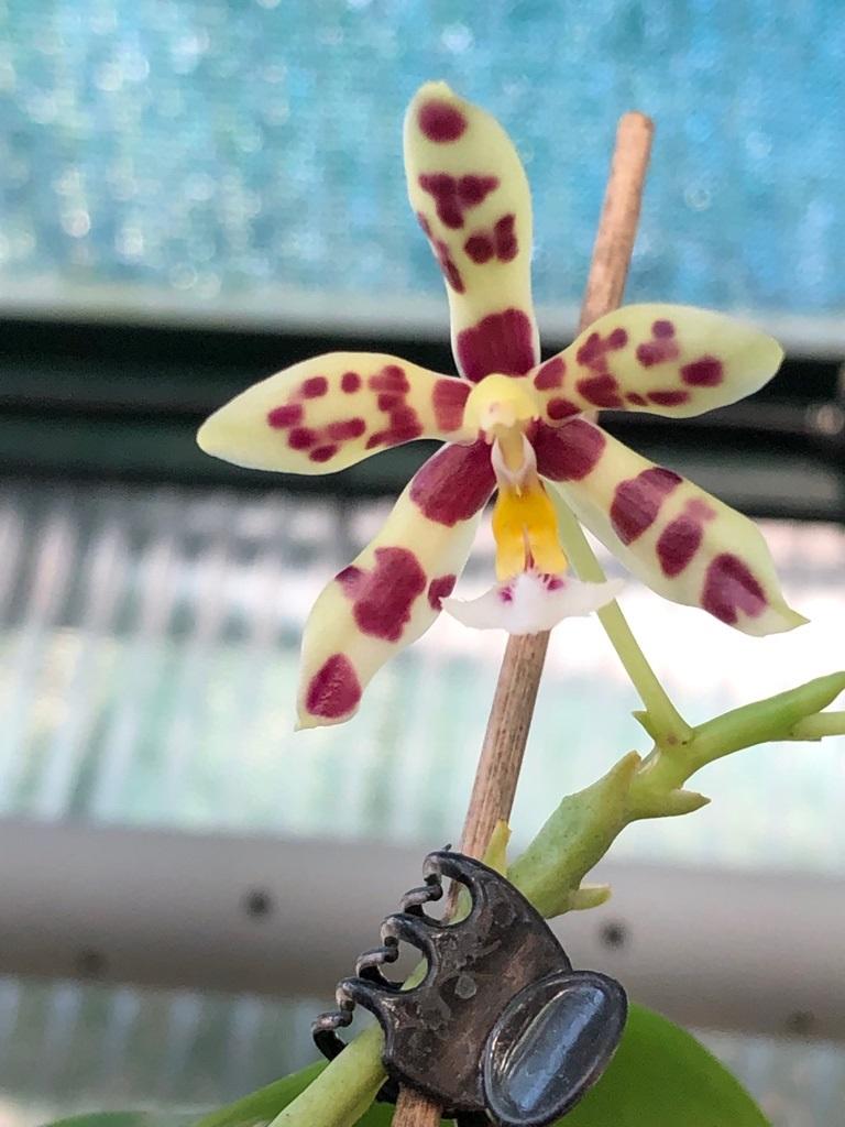Phalaenopsis Margie Lane (Phal. mannii x Phal. micholitzii) Img_5634