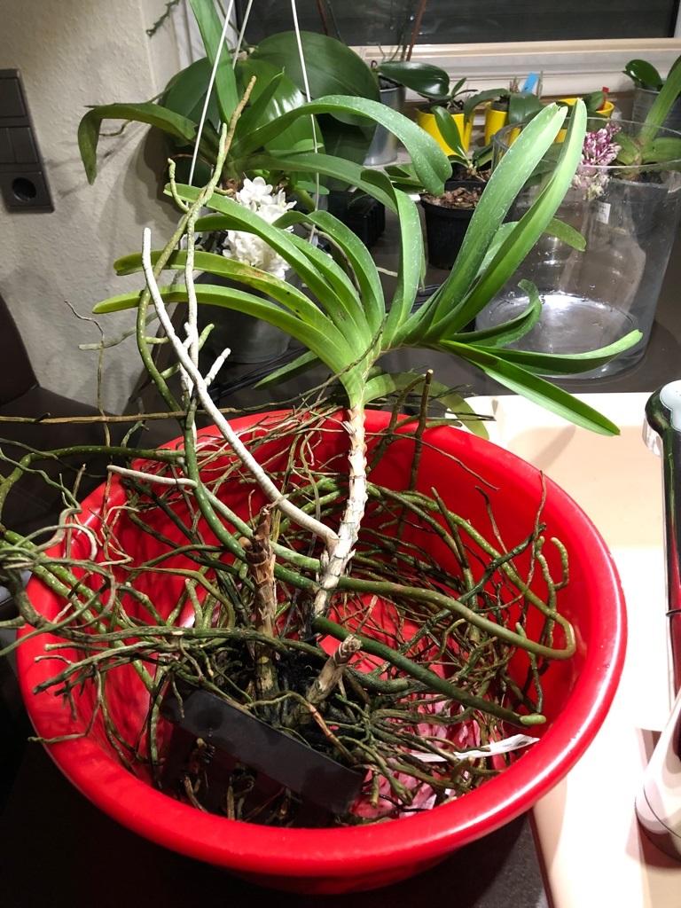 Orchideen-Neuzugang 2 - Seite 14 Rhynch10
