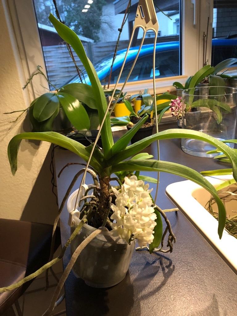 Orchideen-Neuzugang 2 - Seite 14 Rhynch13