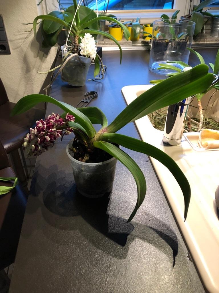Orchideen-Neuzugang 2 - Seite 14 Rhynch15