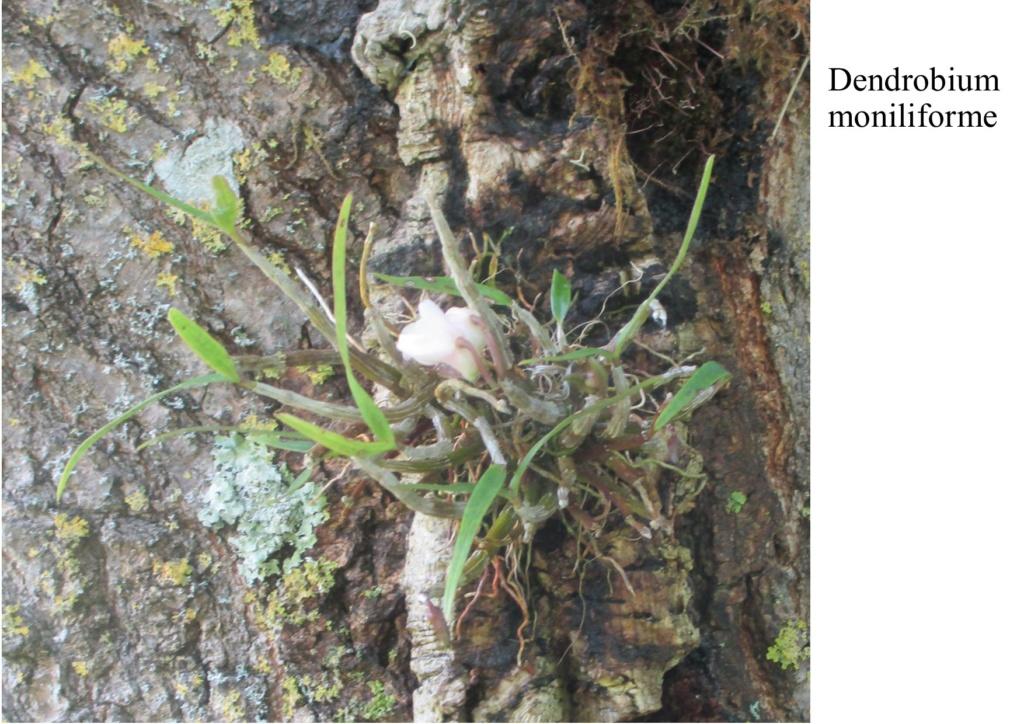 Dendrobium moniliforme - Page 2 2020110