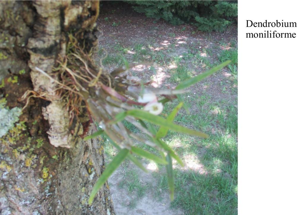 Dendrobium moniliforme - Page 2 2020210