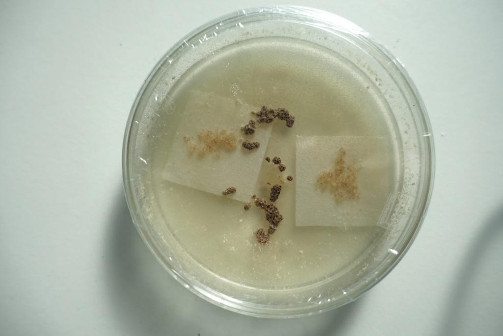 anacamptis laxiflora (semis) Dsc01811