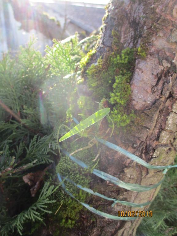 Dendrobium moniliforme Img_0220