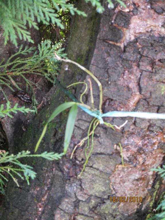 Dendrobium moniliforme Img_0221