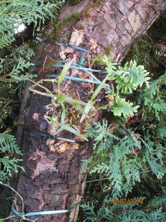 Dendrobium moniliforme Img_0223