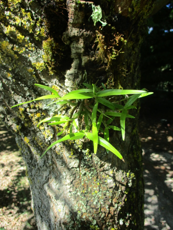 Dendrobium moniliforme - Page 2 Img_0618