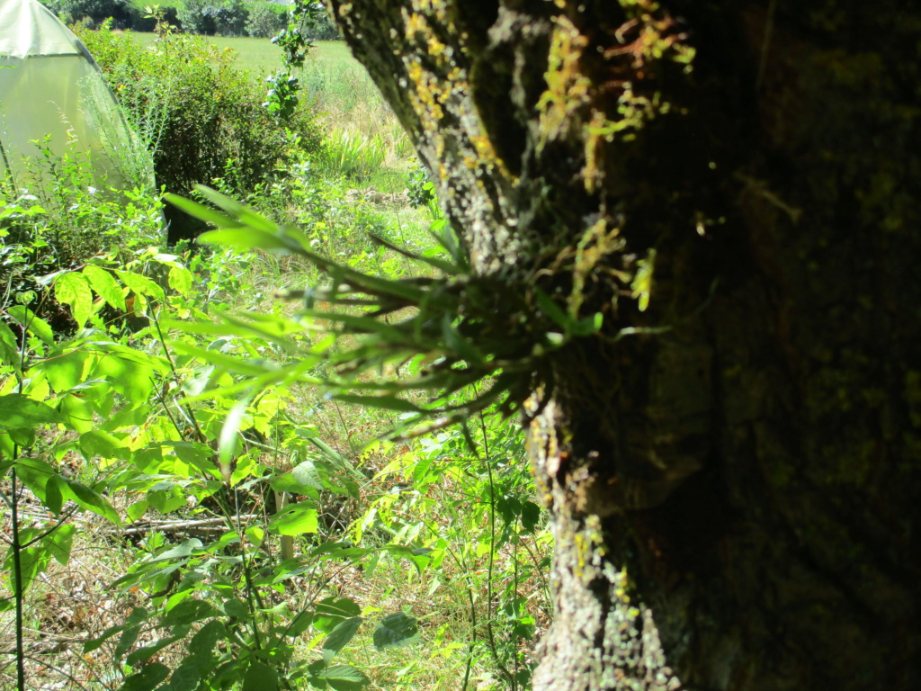 Dendrobium moniliforme - Page 2 Img_0619