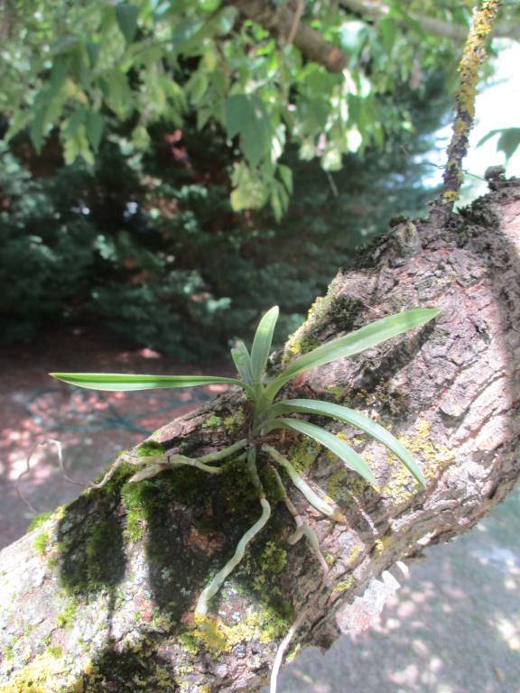 Neofinetia falcata Img_0620