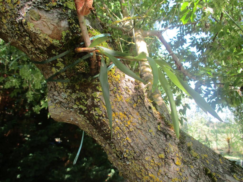Eria japonica Img_0623