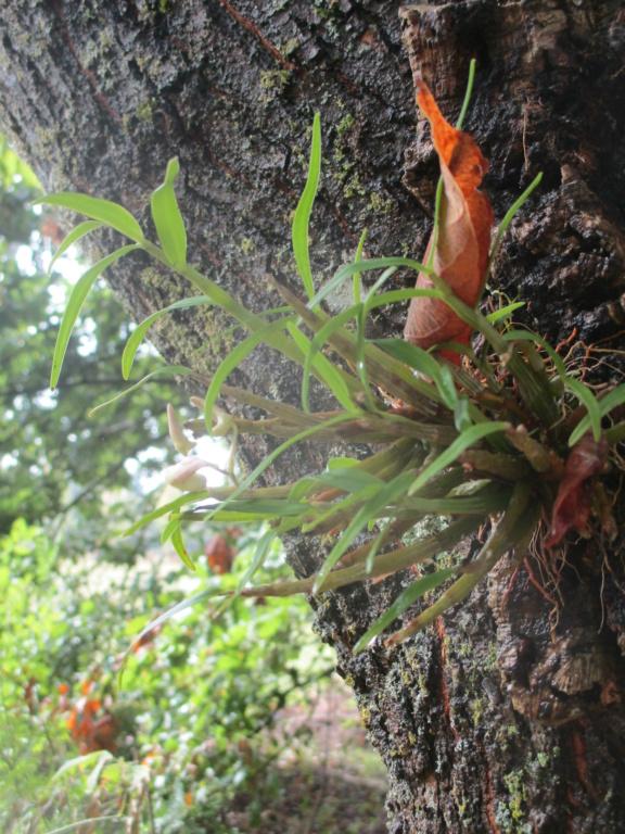 Dendrobium moniliforme - Page 2 Img_1511