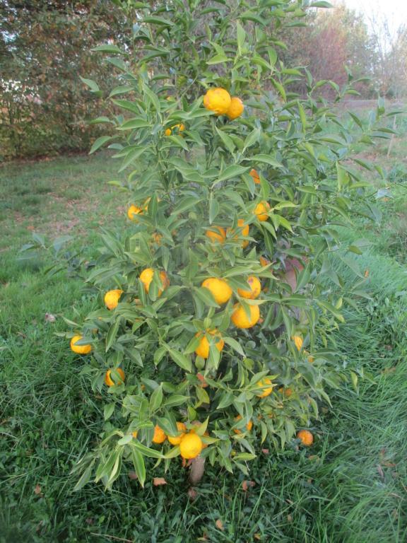 Citrus junos - yuzu - Page 3 Img_1512