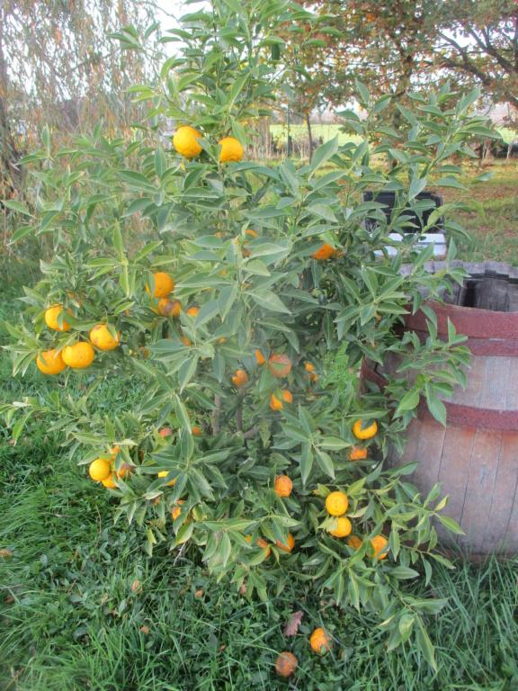 Citrus junos - yuzu - Page 3 Img_1513