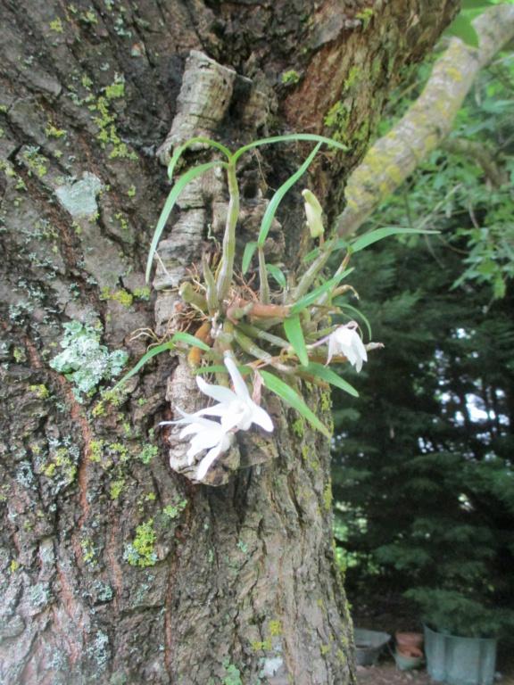 Dendrobium moniliforme - Page 2 Img_1710