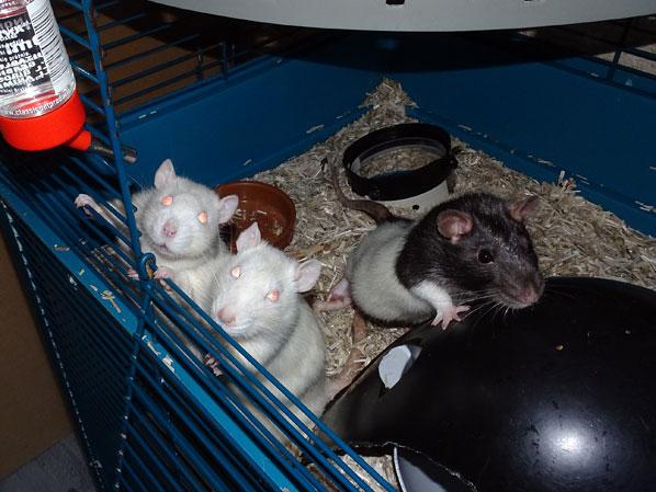 Le Clan des Poupouyous  - Page 41 Rats10
