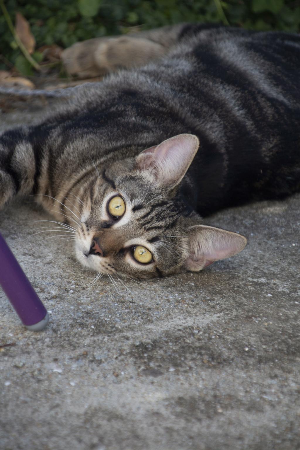 Orégon, chat européen tigré, née en 04/2018. Img_6014