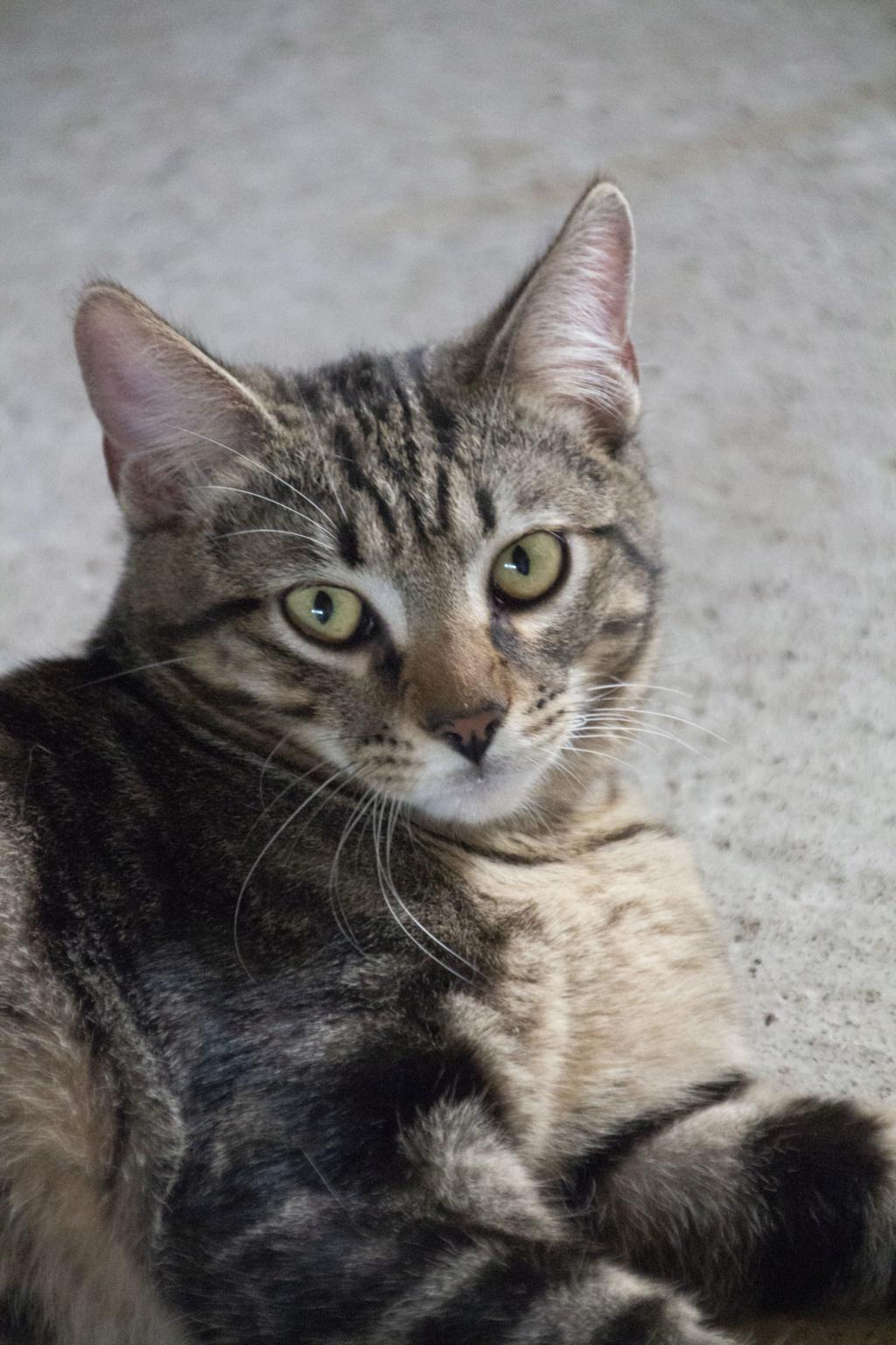 Orégon, chat européen tigré, née en 04/2018. Img_6114