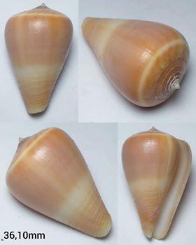 Petit cône Conus10